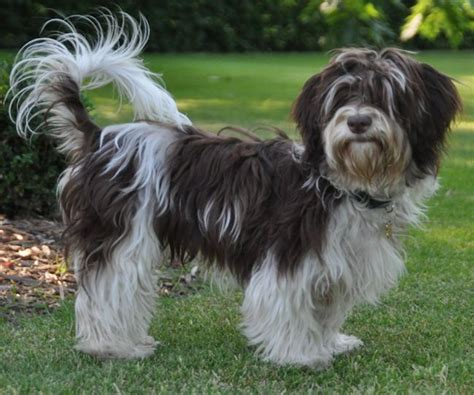 akc rules for giving a havanese a hair cut parti havanese parti havanese brown pigment parti