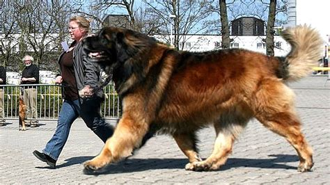 what breed are you breeds app goldenacresdogs