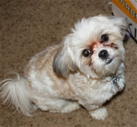 maltese cross shih tzu puppies maltese shih tzu malshi best pethelpful