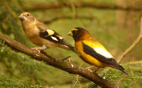 evening grosbeak a quot common bird in decline quot the zen