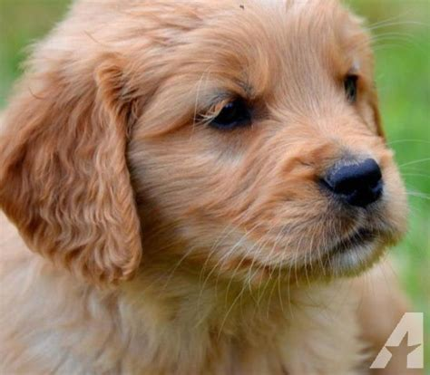 golden retriever for sale washington miniature golden retriever for sale in arlington washington classified