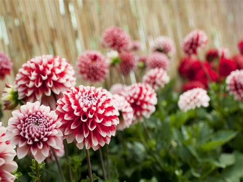 Dahlien Garten Pflanzen by Dahlien Pflanzen Tipps Und Tricks Wie Sie Es Richtig