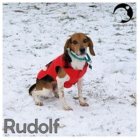 puppies for adoption in pittsburgh pa pittsburgh pa beagle meet rudolf a for adoption