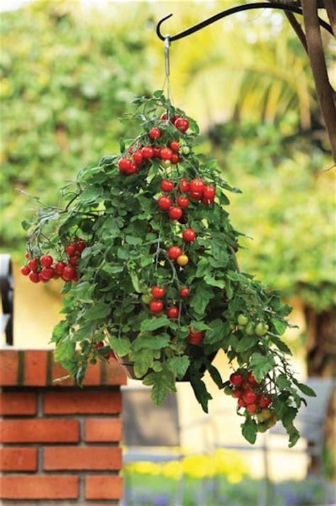 growing tomatoes in hanging basket vertical gardening