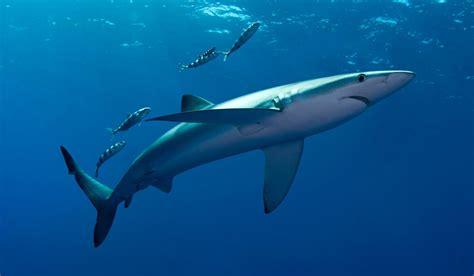 imagenes sorprendentes tiburones sentidos de los tiburones