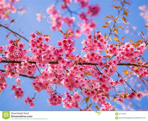 Pink Blossom In Blue pink cherry blossom on blue sky background stock photo
