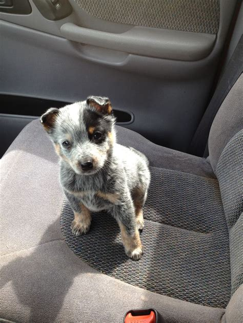 and blue heeler puppies blue heeler puppy