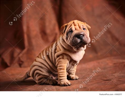 shar pei puppy price picture of shar pei puppy