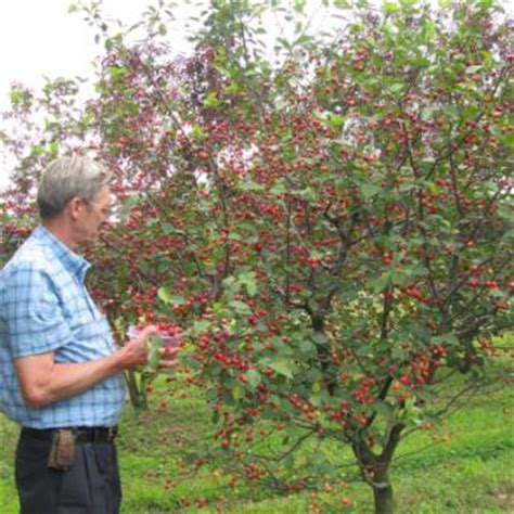 size fruit trees for sale fruit trees from stark bro s fruit trees for