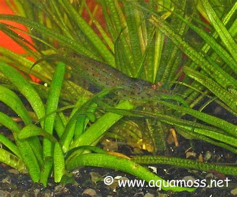Pupuk Tancap Diy yamato shrimp aquascape medan