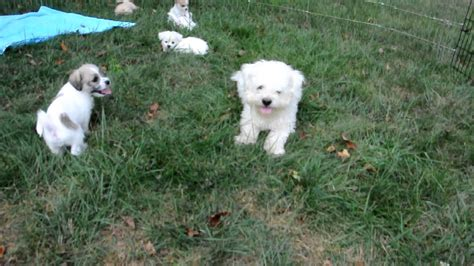 shih tzu bichon rescue rescue pups adopted bichon maltese shih tzu mix pups available