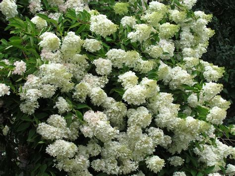 top 28 bush with white flowers in the slow coming of