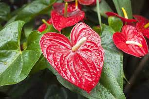 Images Of Bathroom Decorating Ideas how to grow anthurium plants