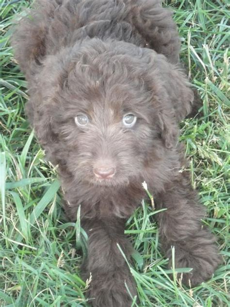 rescue kentucky 17 best images about doodle qwest on f1b goldendoodle poodles and