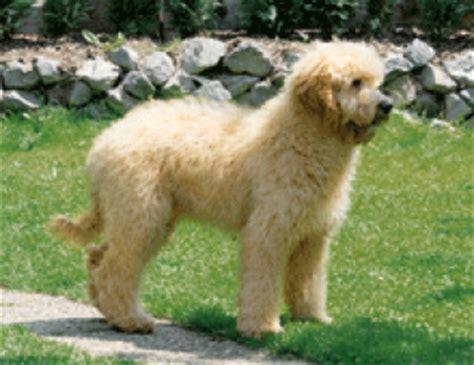 doodle züchter deutschland erfahrungsberichte goldendoodle dogs of golden kennel