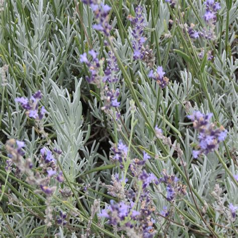 growing lavender in kentucky 28 images lockwood lavender farm wordless wednesday peace