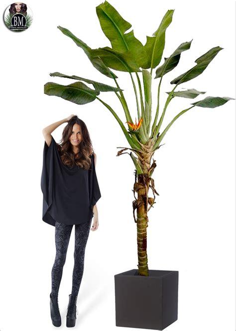 banano in vaso banano palm paradise maxi h 260cm