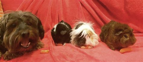 how to a pig pup 17 pups who welcomed guinea pigs into their pack barkpost
