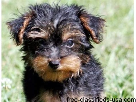 purebred yorkie puppies healthy purebred tiny yorkie puppies animals virginia virginia
