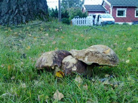 Bei Uns Wachsen Pilze Im Garten by Welche Pilze Wachsen Bei Euch Seite 3 Hausgarten Net
