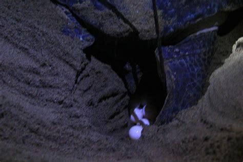 Turtle Coffe Surabaya sukamade turtle ijen crater ijen blue ijen tour