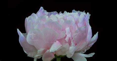 dark pink peony photograph by sandy keeton the pink pagoda flower photography britt bass turner
