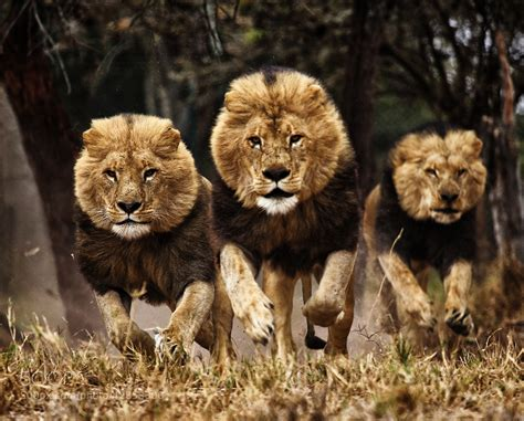 Three Lions photograph run by hemant buch on 500px