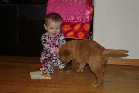 golden retriever puppy and baby chet womach s new golden retriever puppy w pictures thedogtrainingsecret