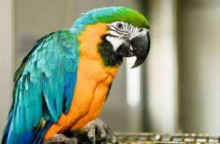 parrots the long term commitment pets4homes