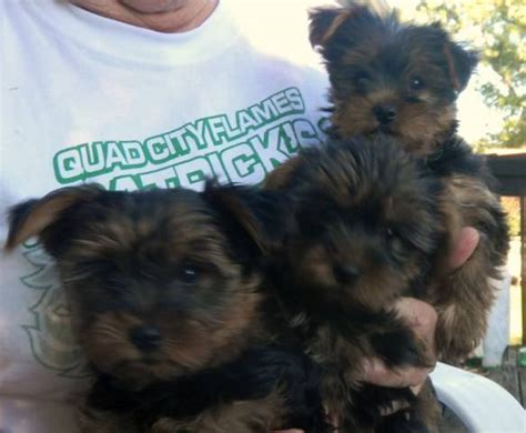 dogs for adoption in iowa yorkie puppies for sale adoption from davenport iowa adpost classifieds gt usa