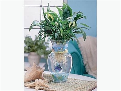 Betta Fish In A Vase by Large Glass Vase Or Betta Fish Aquarium Excellent