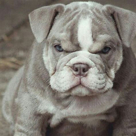 grey bulldog puppy pin by warns on just for kidz