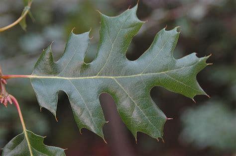 California Black Oak Oregon State Univ Landscape Plants Black White Oak Leaf