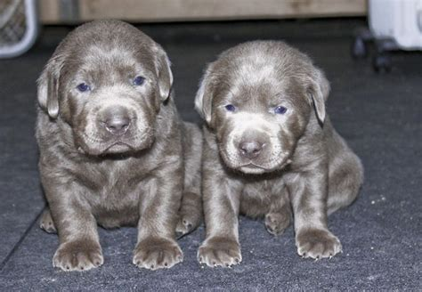 silver labrador puppies for sale silver labs for sale breeder of silver labrador retrievers a k c certified