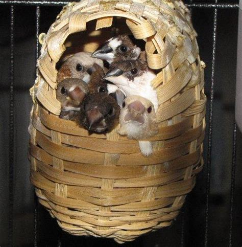 zebra finch housing pets pakistan bengalese finches for sale