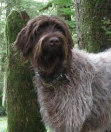 Dachshund Home Decor Pin Wirehaired Pointing Griffon On Pinterest