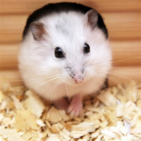 bedding for hamsters soft wood shavings sawdust for natural pets bedding