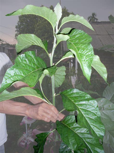 Daun Afrika Daun Obat cara menanam tanaman obat herbal dan jamu tradisional