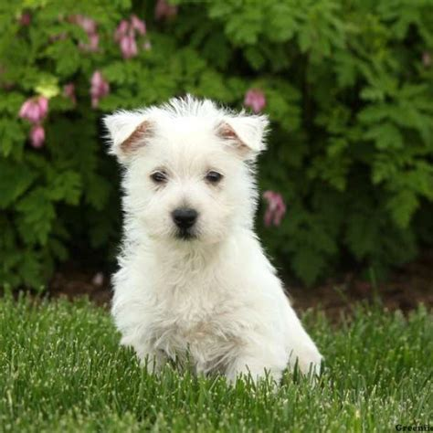 westie puppies for sale west highland terrier puppies for sale greenfield puppies