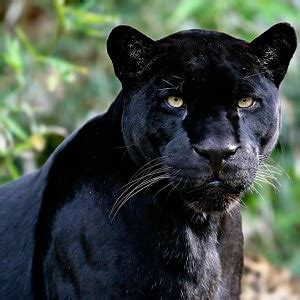 the meaning and symbolism of the word «panther»