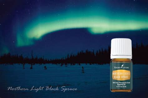 northern lights black spruce essential living northern light black spruce essential