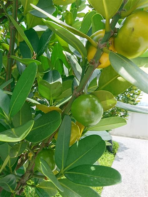 Tropical Plant Identification Similar To Zz Plant
