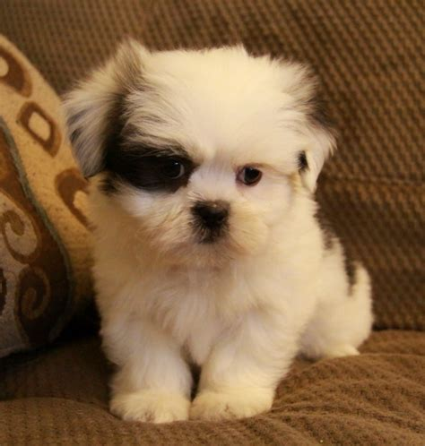 teacup shih tzu breeders in ontario yorkie bichon shih tzu puppies breeds picture