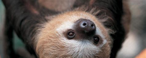 hoffman pics hoffmann s two toed sloth facts history useful