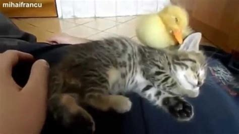 Toilet Paper Funny Sleeping Kitten With Rubber Duck Funny Cats Videos