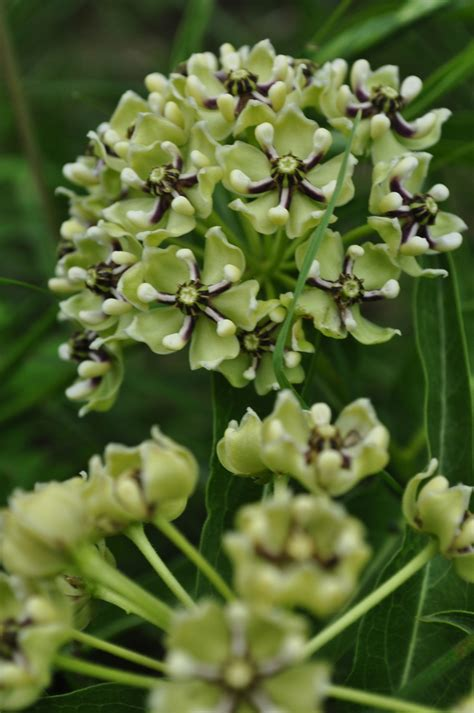 milkweed planter passion design milk 17 best images about antelope horns milk weed on pinterest
