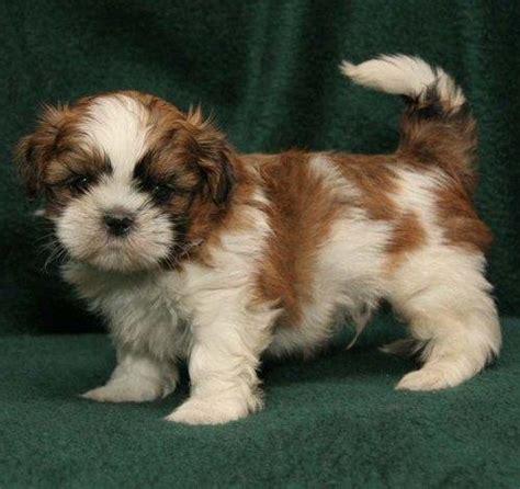 cute shih tzu puppy bing images   just plain cute! (dogs