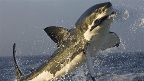 imagenes leones vs tiburones tibur 243 n blanco cazando 1920x1080 fondos de pantalla y