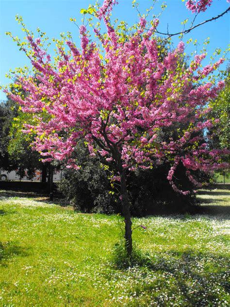 giardini d arancio roma confronto tra alberi arancio albero di giuda pino