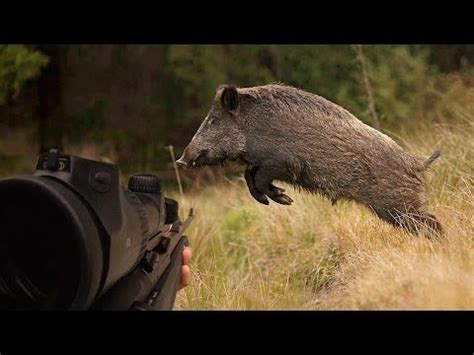 chasse hd : tirs de 2 sangliers battue de sangliers